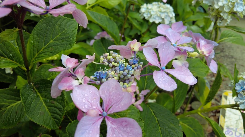 住民が育てたアジサイが きれいに咲いている