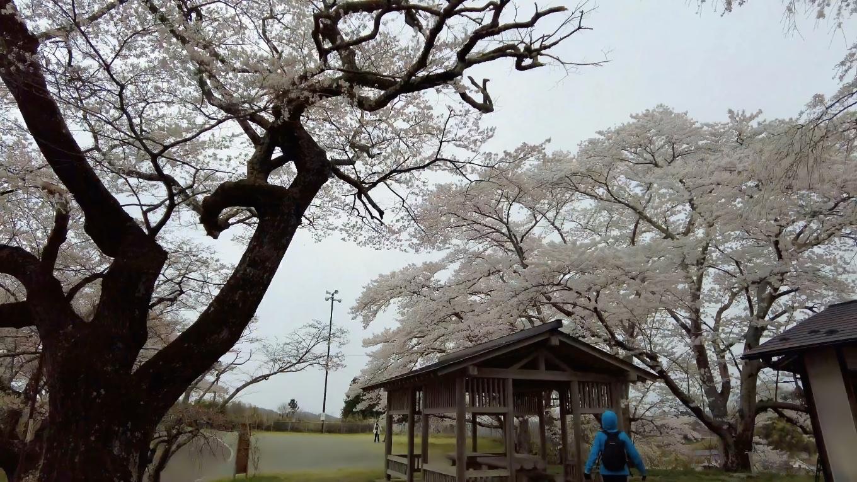 桜が満開だが とても寒い