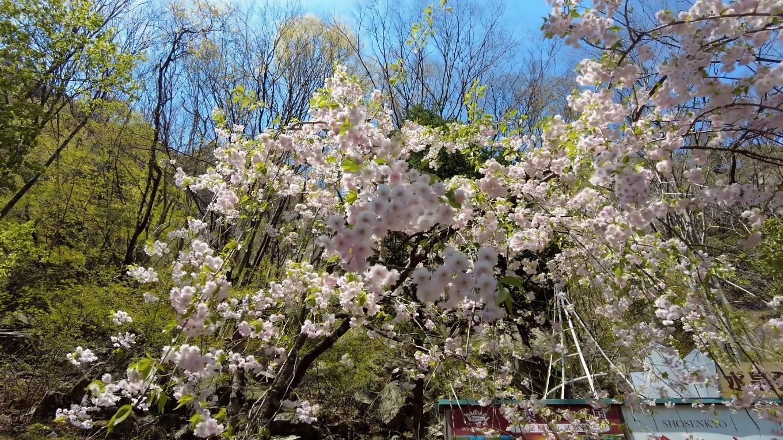 しだれ桜が咲いていた