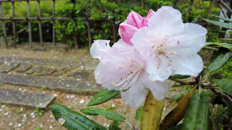 シャクナゲも咲いている