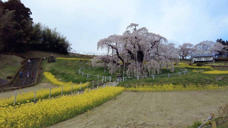樹齢は1000年以上 高さ13 5m 根回り11 3m 枝張りは幹から北へ5 5m 東へ11 0m 南へ14 5m 西へ14 0mの巨木だ