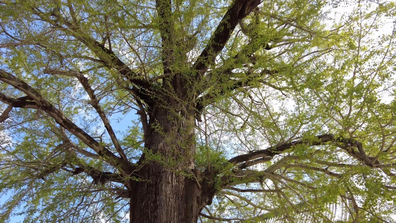 樹齢800年の大銀杏 おおいちょう