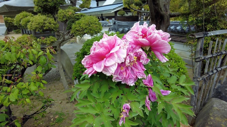 大きな芍薬が咲いていた
