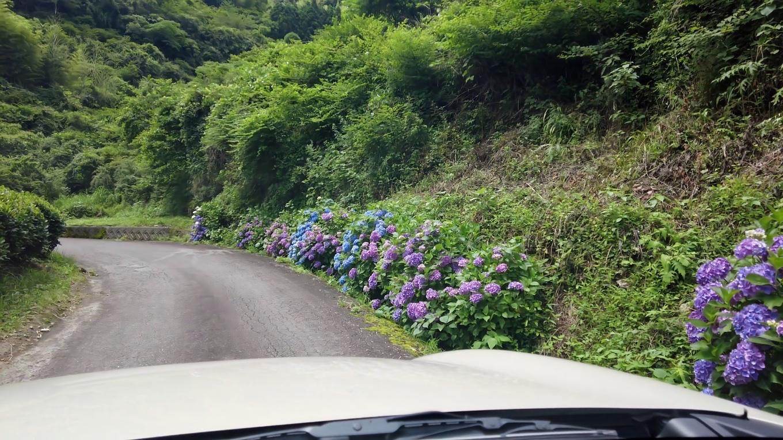 しかし今年は紫陽花が極端に少なく 咲いていてもこんな感じ