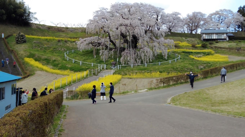 三春滝桜が見えてきた