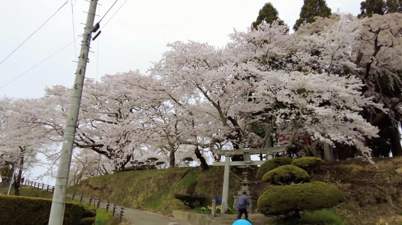 坂の上に神社があり その周囲にも桜が咲いている