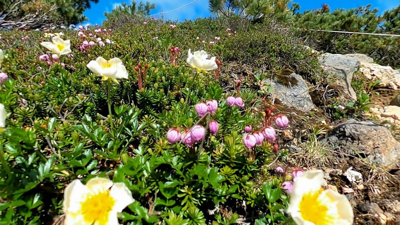 遊歩道にはニリンソウなどの高山植物が花盛り