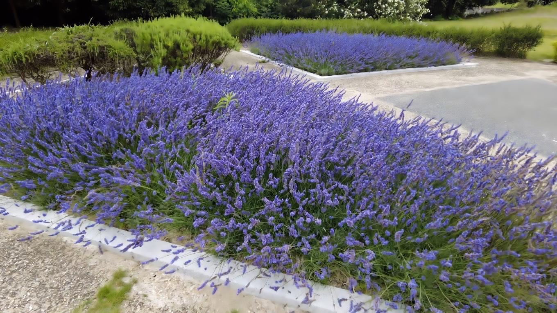 ラベンダーのような青い花が咲いていた