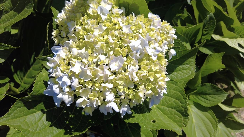 しかし既にアジサイも終わりかけ トビシマカンゾウは全く咲いていなかった 汗