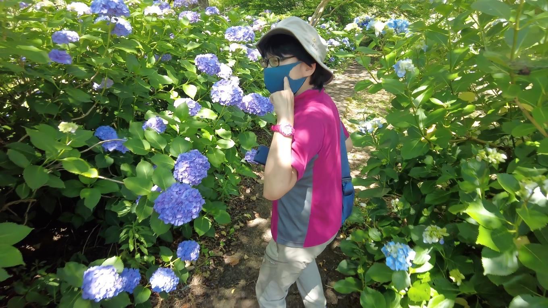 紫陽花の通路になっている