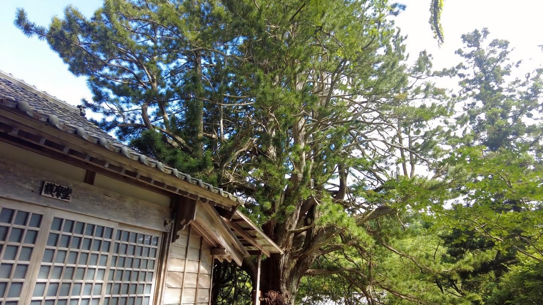 槙の大木がある