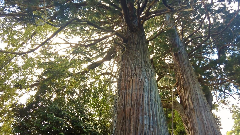 長谷の三本スギは 新潟県指定天然記念物