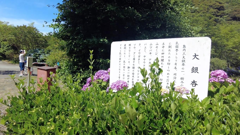 佐渡島の島内三大銀杏の一つ